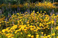 Desert Wildflowers-Mexican Poppies.