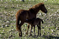 Salt River Wild Horses (Mother & Foal) at Coon Bluff in the Tonto Nat. Forest.