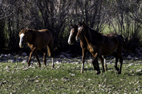 Salt River Wild Horses at Coon Bluff in the Tonto National Forest