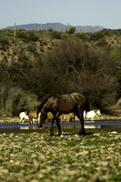 Salt River Wild Horse at Coon Bluff in the Tonto National Forest