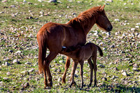 Salt River Wild Horses (Mother & Foal) at Coon Bluff in the Tont
